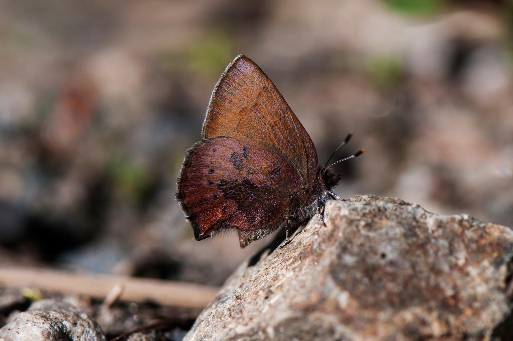 Brown Elfin Callophrys augustinus iroides