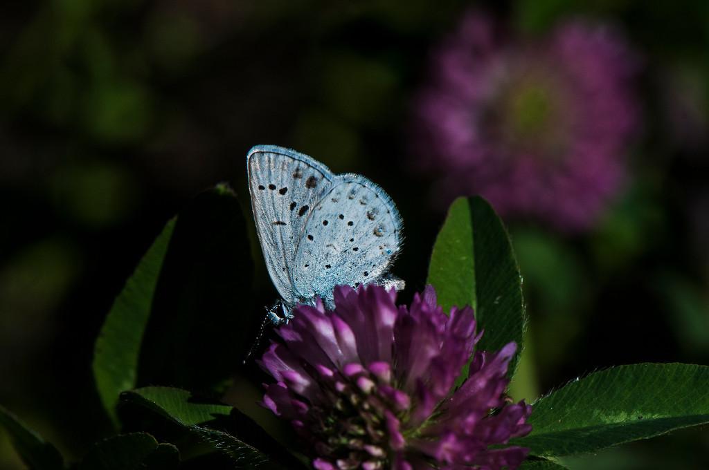 Greenish Blue Plebejus saepiolus