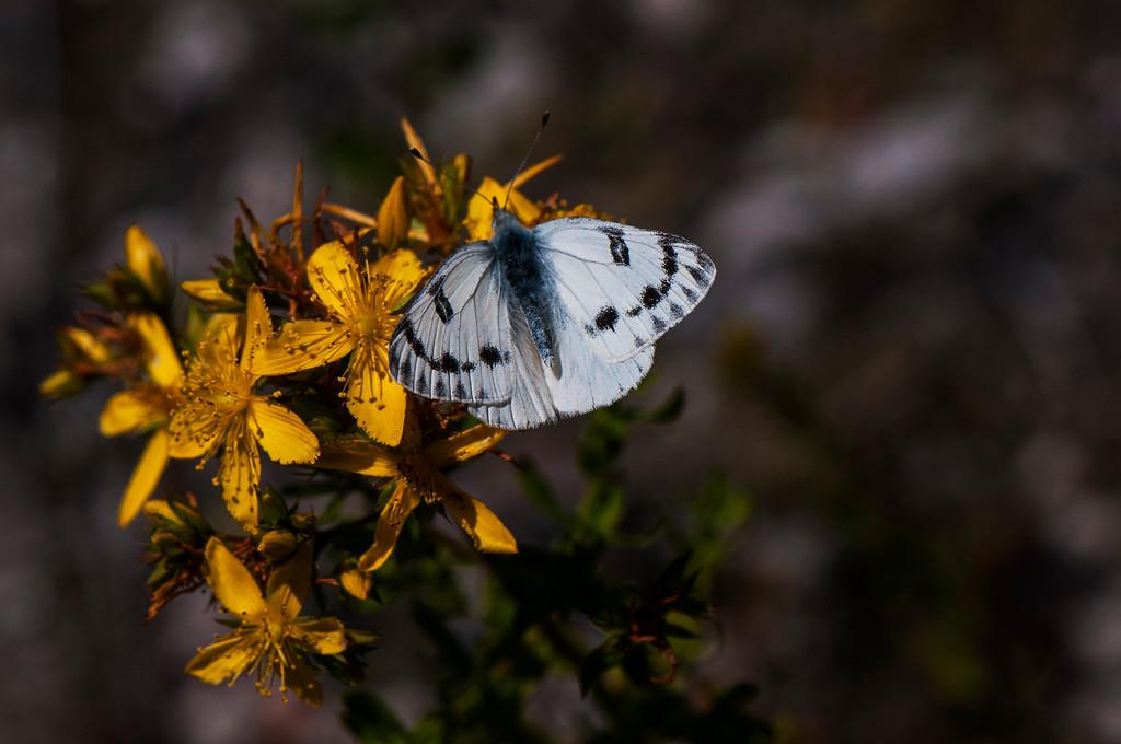 Western White (Pontia occidentalis)
