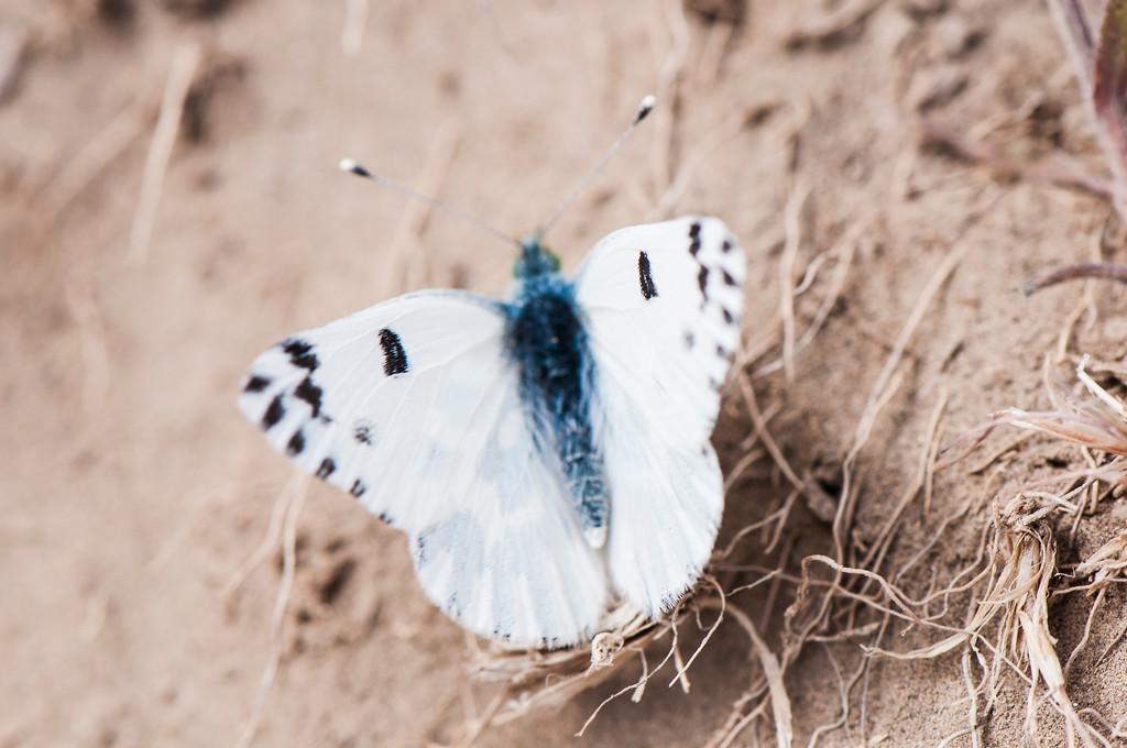 Becker's White (Pontia beckerii)