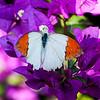 Great Orange Tip (Hebomoia glaucippe glaucippe)