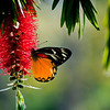 Redspot Jezebel (Delias descombesi descombesi)