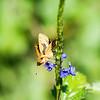Potanthus motzui