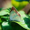 Angled Sunbeam (Curetis acuta formosana)