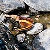 Australian Lurcher (Yoma sabina vasuki)