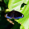 Double-branded Black Crow (Euploea sylvester swinhoei)