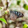 Ceylon Blue Glassy Tiger (Ideopsis similis similis)
