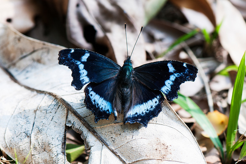 Blue Admiral (Kaniska canace drilon)