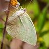 Lemon Emigrant (Catopsilia pomona pomona) male