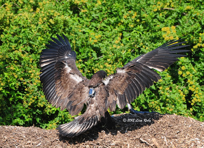 D14 had just landed on the mulch pile. Just loved this pose.