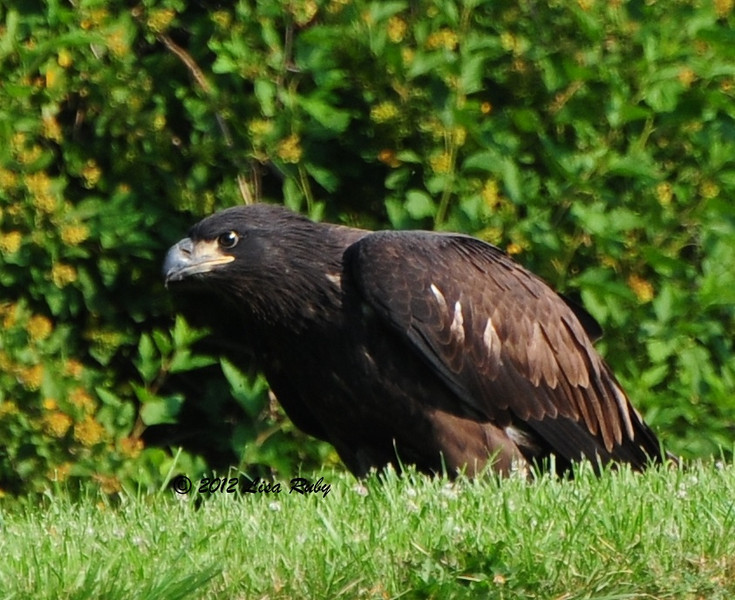 Fledgling Bald Eagle. Decorah Iowa.