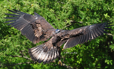 Love what happens to the secondary flight feathers when they are about to land.