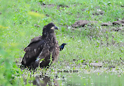 Juvie with a pesky friend (Common Grackle). May have been D17, not sure. About to take a bath in the pond. 6/26/13