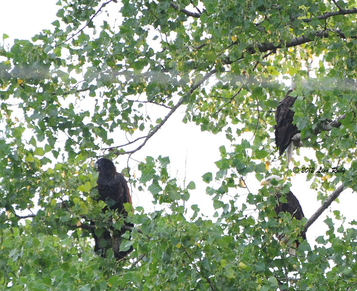 Both parents are in the tree on the right with one of their fledglings.