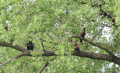 All three fledglings are in this tree. It was hot when we were there and this was a favorite spot to hang out in the shade.