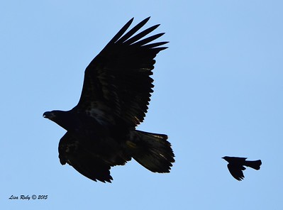 Juvenile Bald Eagle being harassed by Red-winged Blackbird - 6/27/2015 - Decorah Iowa near Fish Hatchery