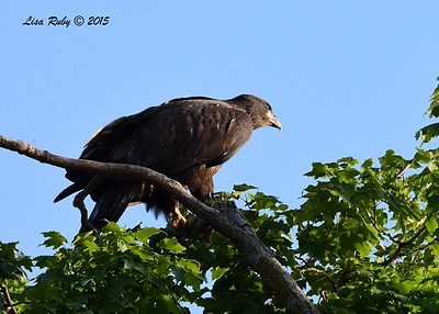 Juvenile Bald Eagle -  6/27/2015 - Decorah Iowa Fish Hatchery