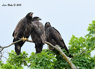 Juvenile Bald Eagles (all 3 siblings) -  6/28/2015 - Decorah Iowa Fish Hatchery