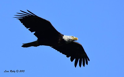 Bald Eagle (Dad?) - 6/27/2015 - near Fish Hatchery, Decorah Iowa