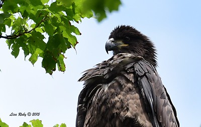 Juvenile Bald Eagle -  6/28/2015 - Decorah Iowa Fish Hatchery