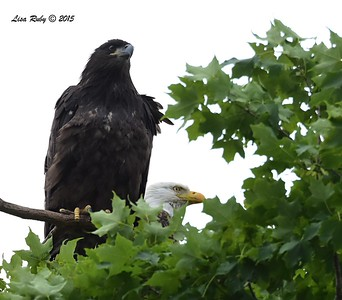 Juvenile and Adult Bald Eagles (D22 and Dad )  - 6/26/2015 - Decorah Iowa, Fish Hatchery