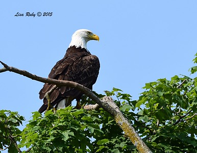 Bald Eagle parent -  6/29/2015 - Decorah Iowa Fish Hatchery