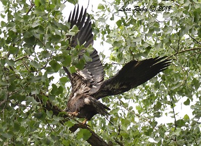 Recently Fledged Bald Eagle. The Eagle has landed. - 6/24/2018 - Decorah Iowa Fish Hatchery