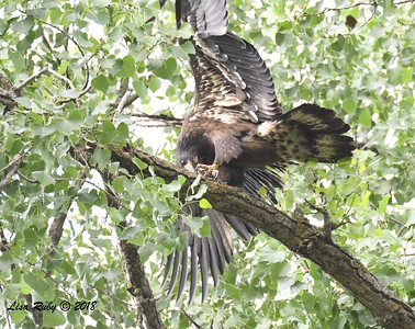 Juvenile Bald Eagle - 6/24/2018 - Decorah Iowa Fish Hatchery