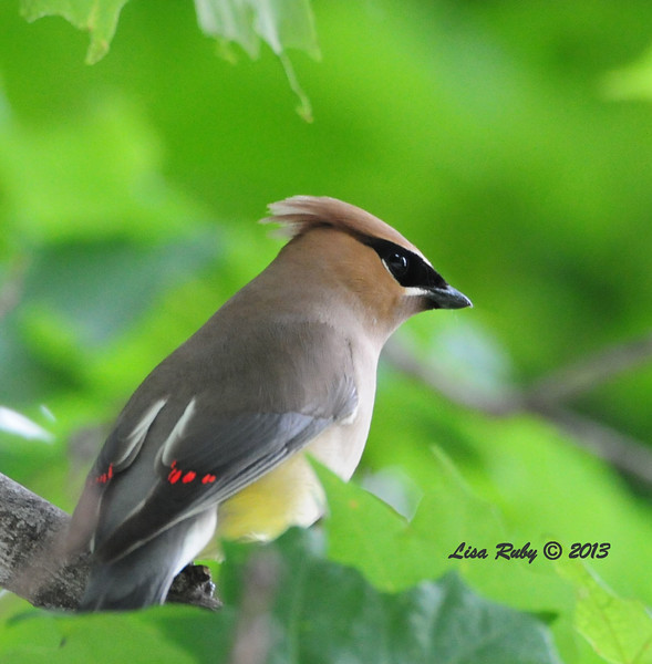 Cedar Waxwing - 6/26/2013 - Decorah, Iowa