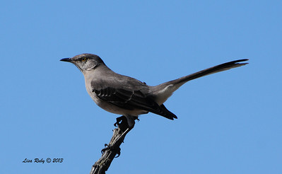 Northern Mockingbird - 9/17/2013 - Backyard, Sabre Springs