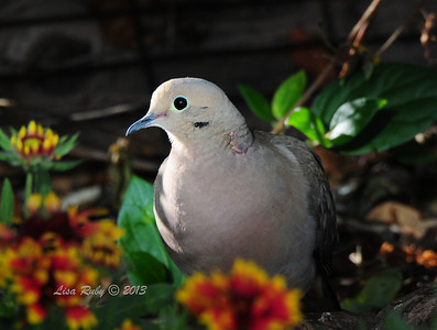 Mourning Dove - 9/22/2013 - Backyard Sabre Springs
