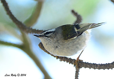 Golden-crowned Kinglet - 1/3/2014 - Fort Rosecrans National Cemetery
