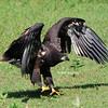 Juvenile Bald Eagle (D13) - 7/27/2012 - Decorah, Iowa