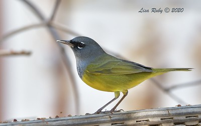 MacGillivray's Warbler  - 9/23/2020 - Old Poway and Aubrey Parks