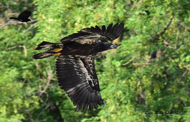 Juvenile Bald Eagle (D23) - 6/30/2015 - Decorah Iowa Fish Hatchery