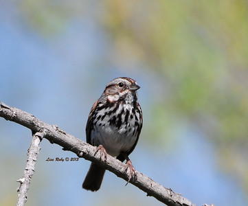 Song Sparrow - 3/23/2013 - Dairy Mart Pond
