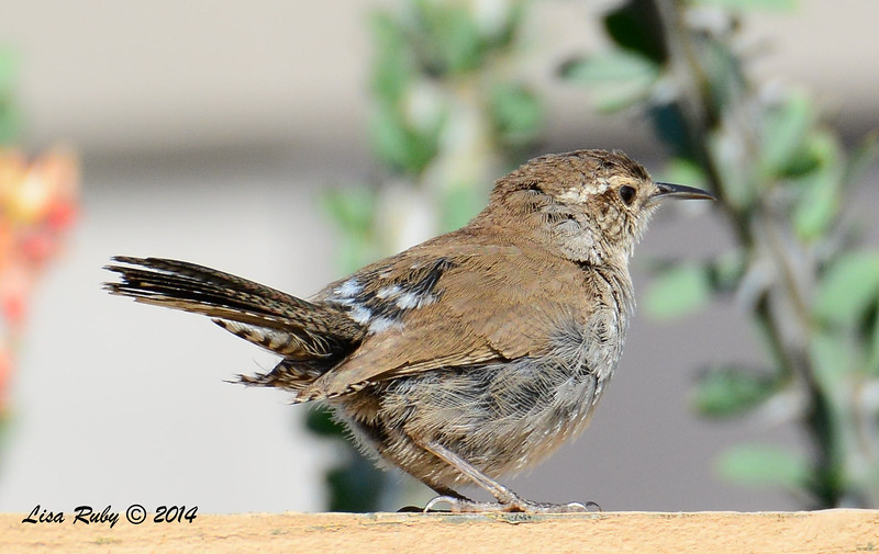 Bewick's Wren - 5/29/2014 - Backyard Sabre Springs