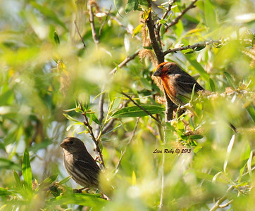 House Finches - 3/24/2013 - Dairy Mart Pond