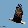 Bald Eagle (think this was Mom) - 7/1/2012 - Decorah, Iowa