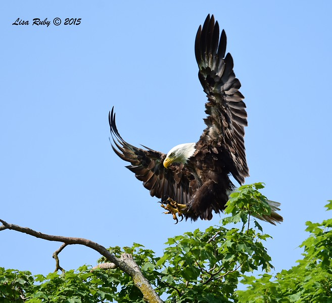 Bald Eagle parent -  6/29/2015 - Decorah Iowa Fish Hatchery