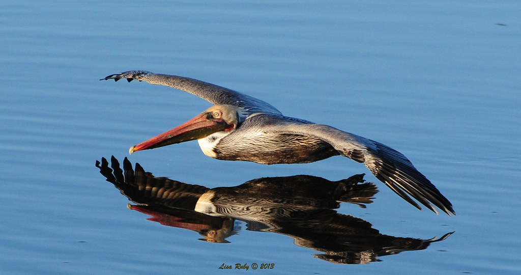 Brown Pelican at Robb Field