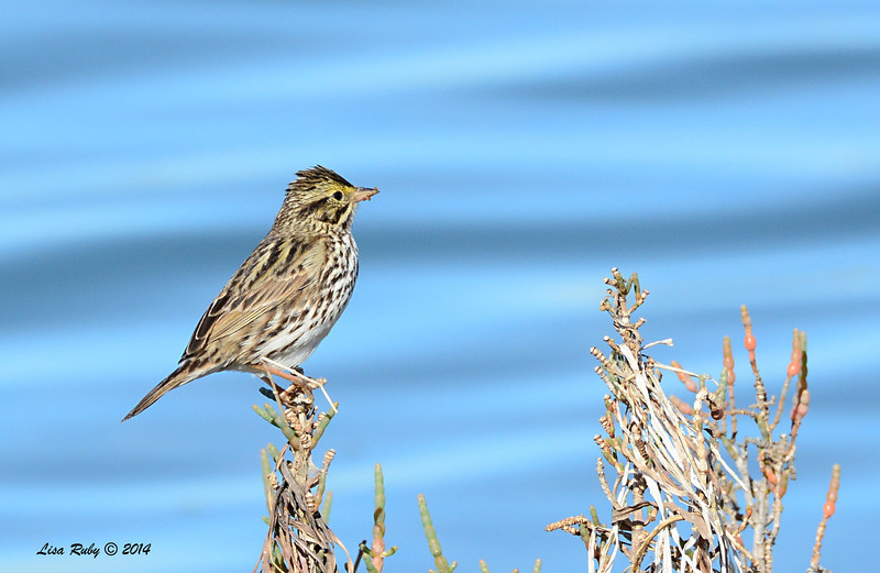 Savannah Sparrow - 1/18/2014 - Imperial Beach Salt Works