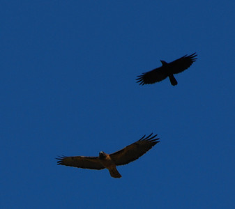 Crow and Red-tailed Hawk at Poway Pond.