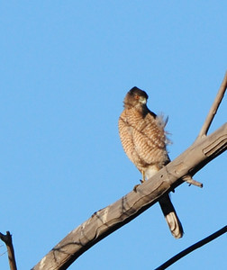 Cooper's Hawk sitting in the wind.