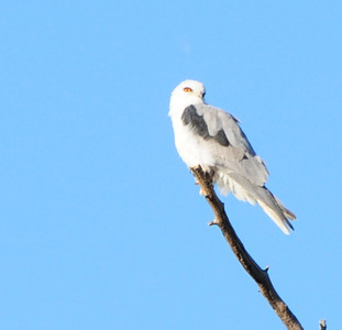 White-Tailed Kite.  Still working on getting that perfect photo of a Kite. This is the best I have so far.