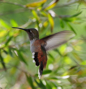 Immature or Female Selasphorus (Rufous or Allen's) Hummingbird - 8/21/2012  - Tracy's House Escondido