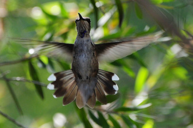 Don't know what type of hummingbird this is. Taken in Escondido August 2012.