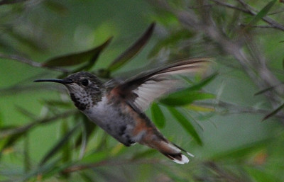 Not sure what this is. Allen's or Rufous and may be an immature. Taken in Escondido.