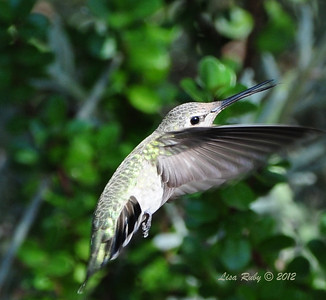 Anna's Hummingbird - 8/21/12 - Tracy's House Escondido