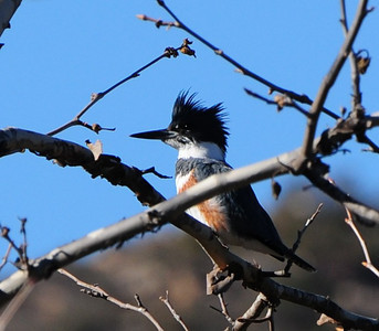 Belted Kingfisher - 1/2/13 - Sabre Springs Creek